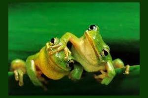 Chú ếch xanh
