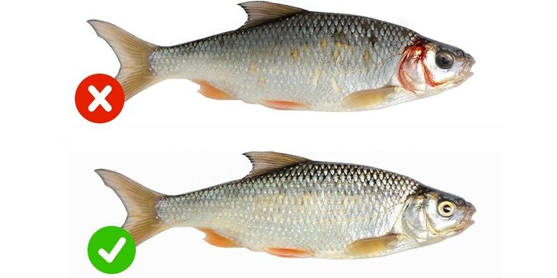 Nhận biết cá tươi và cá ươn
