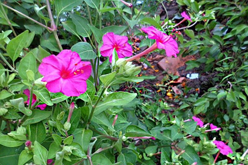 Cây hoa phấn