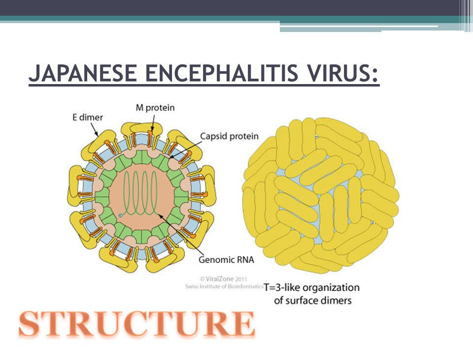Virus Viêm não Nhật Bản B