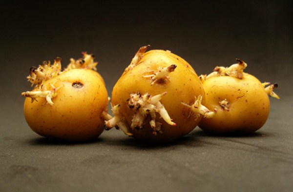 mầm (như khoai tây) chứa nhiều chất độc, gây ảnh hưởng đến thai nhi