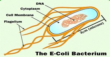 Vi khuẩn Ecoli có thể gây tiêu chảy cấp