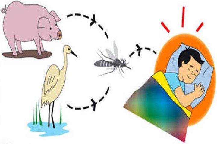 Đường lây truyền của virus viêm não Nhật Bản