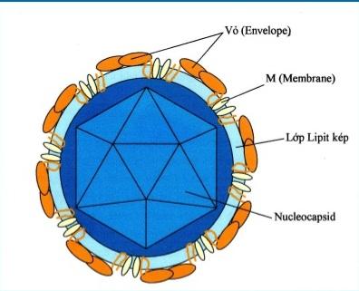 Sơ đồ cấu trúc hạt virus Viêm não Nhật Bản