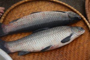 Cá trắm đen thịt chắc và thơm ngon hơn cá trắm cỏ