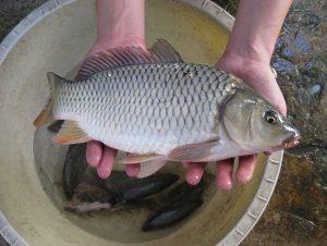 Cá chép tươi ngon là cá chép sông, dầy mình ngọt thịt