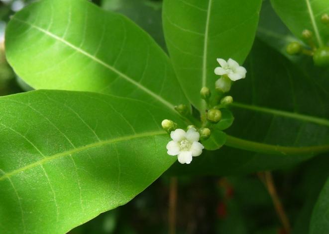 Hình ảnh hoa Ba gạc