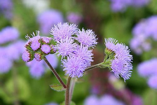 Hoa ngũ sắc chữa viêm xoang