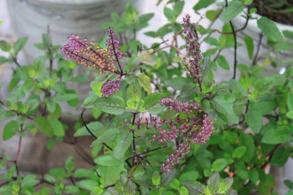 Tác dụng chữa bệnh của hương nhu