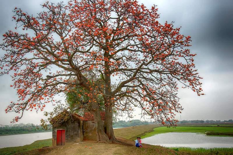 Cây gạo gắn liền với hình ảnh làng quê Việt Nam