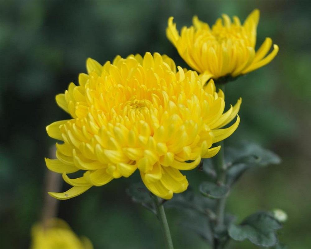 Cúc hoa có tác dụng giải cảm nhiệt, tác dụng thanh can sáng mắt