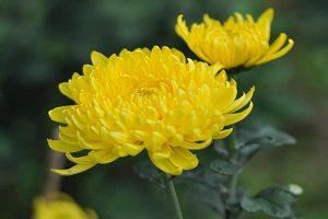 cúc hoa vàng