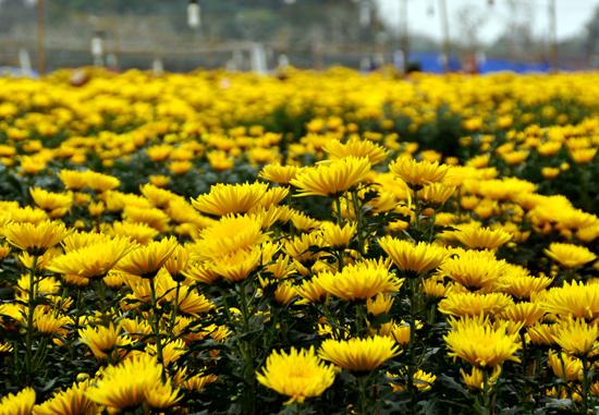 Cúc hoa vàng là cây được trồng từ lâu đời, nhất là ở Hà Nội, Hưng Yên, Hải Dương…