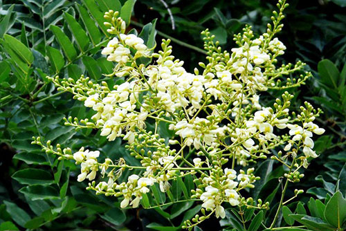 Hoa hòe có thể chữa được nhiều bệnh