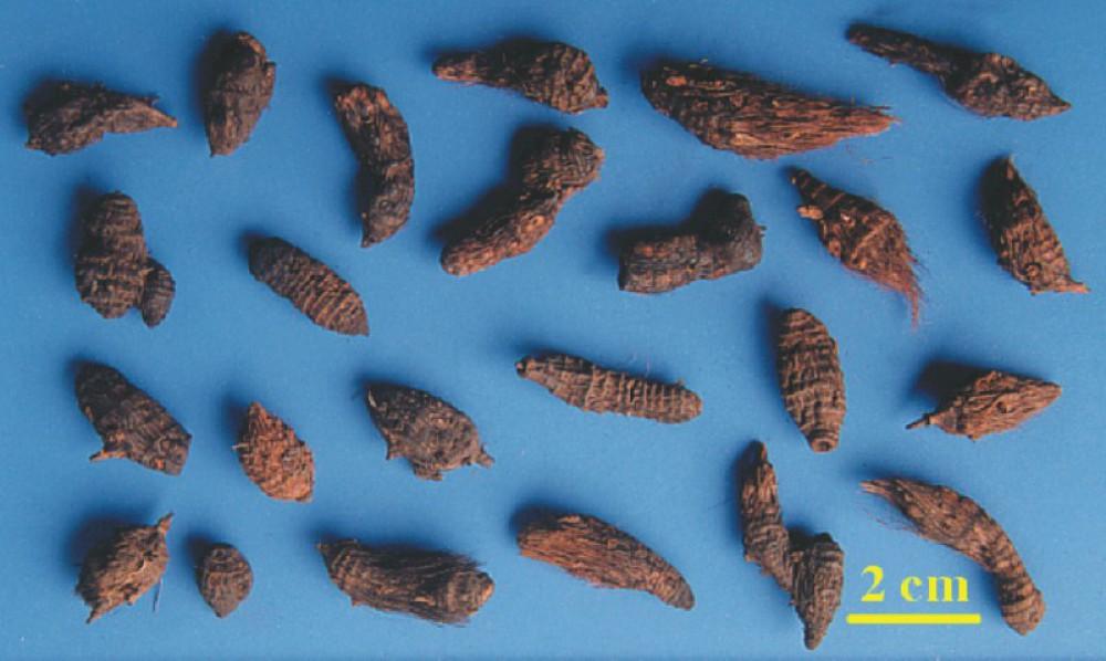 Hương phụ thân rễ hình thoi, mặt ngoài nâu sẫm hay nâu đen