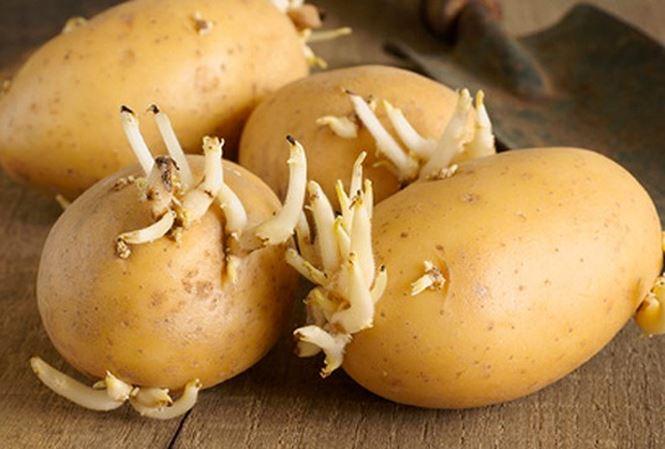 Khoai tây mọc mầm gây ngộ độc thực phẩm (Nguồn: internet)