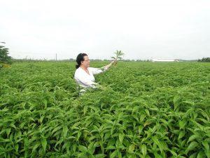 Cây Hoàn Ngọc được trồng ở Việt Nam (Ảnh Internet)