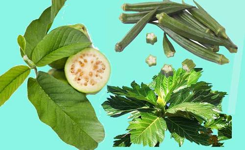 Kết hợp Lá ổi non, đậu bắp tươi và sa kê trong bài thuốc trị tiểu đường