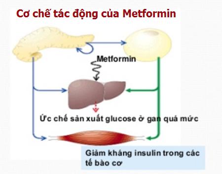 cơ chế tác động của thuốc metformin