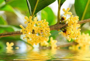Cây mộc hương có tác dụng gì?