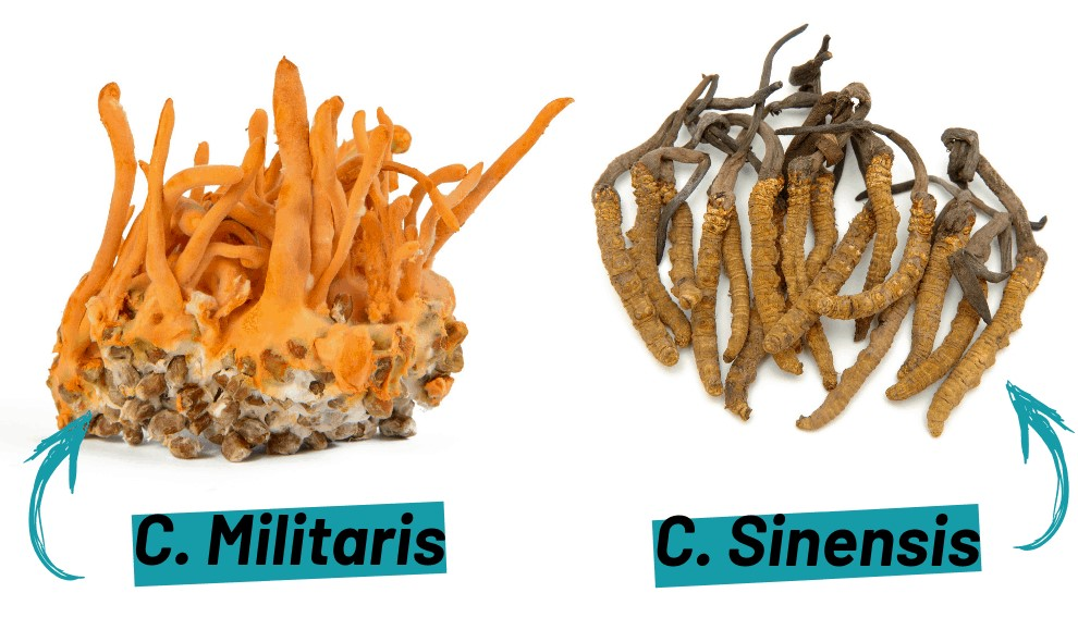 Thành phần dưỡng chất có trong từng loại đông trùng hạ thảo