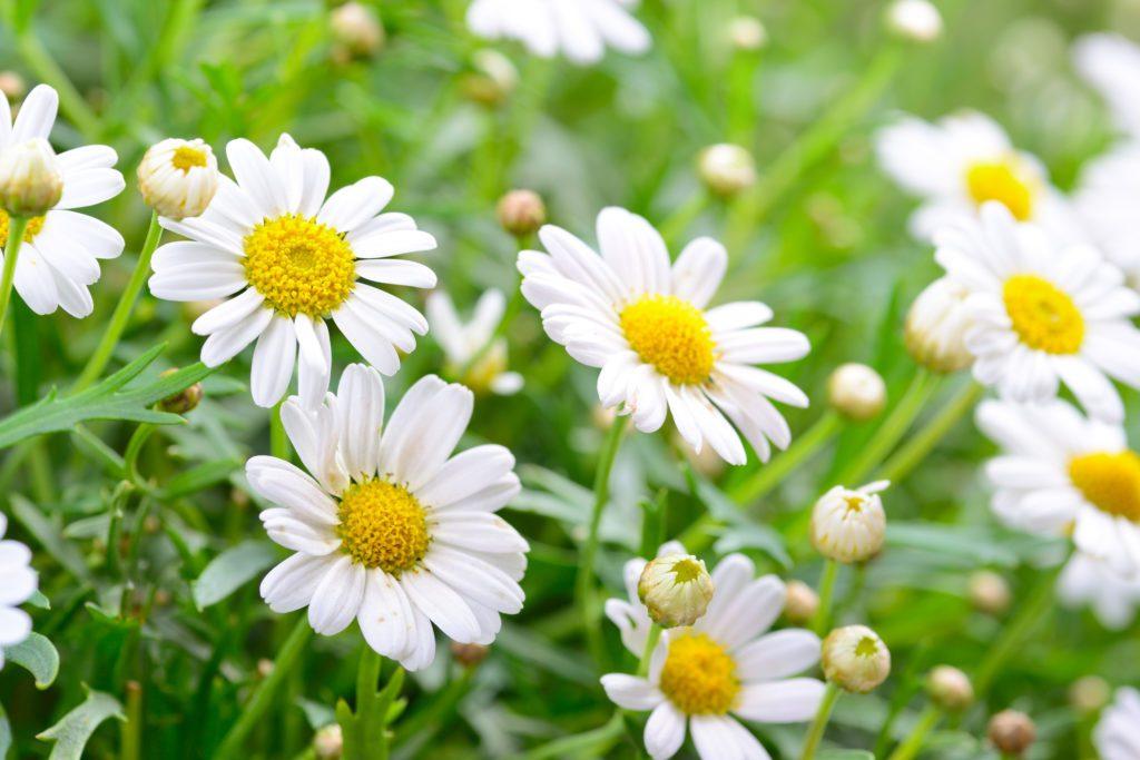Cây cúc hoa có tác dụng chữa đau đầu