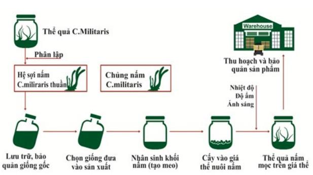 Nuôi trồng đông trùng hạ thảo nhân tạo