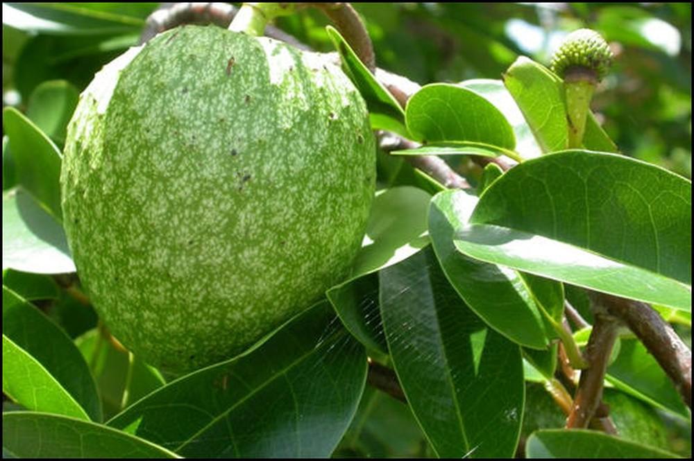 Hạt trái bình bát có tác dụng chữa bướu cổ